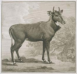 Plate of the Nyl-Ghan, undated von George Stubbs | Gemälde-Reproduktion