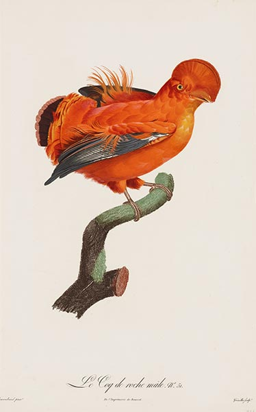Male Cock-of-the Rock, c.1801/06 | Jacques Barraband | Gemälde Reproduktion