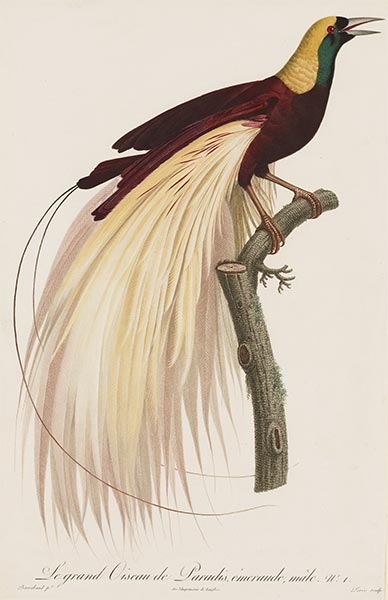 Le grand Oiseau de Paradis, Emeraude, Male, c.1801/06 | Jacques Barraband | Painting Reproduction