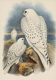 Greenland Falcon, c.1862/73 by John Gould | Painting Reproduction