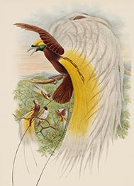 Paradisea Papuana (Papuana Bird of Paradise), c.1875/81 by John Gould | Painting Reproduction