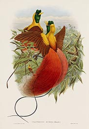 Uranornis Rubra (Daud), c.1875/81 by John Gould | Painting Reproduction