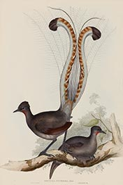 Menura Superba: Shaw (Lyrebird), c.1837/48 by John Gould | Painting Reproduction