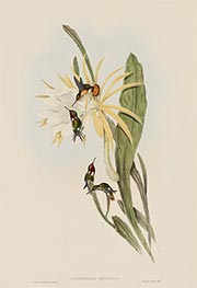 Calothorax Heliodori, c.1849/81 by John Gould | Painting Reproduction