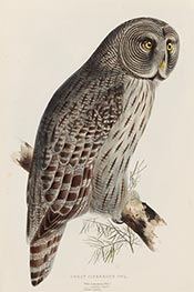 Great Cinereous Owl, c.1832/37 by John Gould | Painting Reproduction