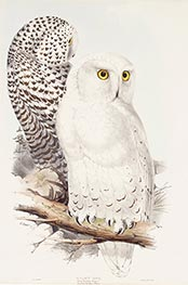 Snowy Owl, c.1832/37 by John Gould | Painting Reproduction