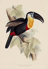 Ramphastos Vitellinus (Illiger), c.1833/35 by John Gould | Painting Reproduction