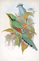 Cissa Venatoria, c.1850/81 by John Gould | Painting Reproduction
