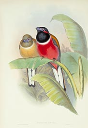 Harpactes Kasumba, c.1850/81 by John Gould | Painting Reproduction