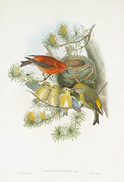 Loxia Curvirostra, Linn, c.1862/73 by John Gould | Painting Reproduction