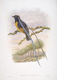 Pteridophora Alberti, Meyer, c.1875/81 by John Gould | Painting Reproduction