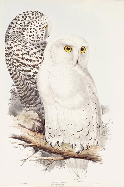 Snowy Owl, c.1832/37 | John Gould | Painting Reproduction