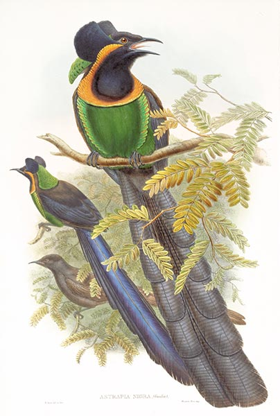Astrapia Nigra (Gmelin), c.1875/81 | John Gould | Painting Reproduction