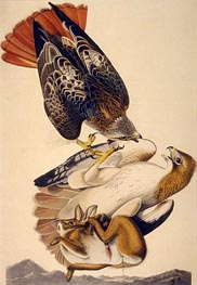 Red Tailed Hawk, 1829 von Audubon | Gemälde-Reproduktion