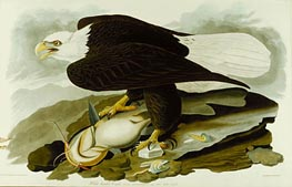 The Bald Headed Eagle from Birds Of America | Audubon | Painting Reproduction