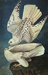 White Gerfalcons | Audubon | Painting Reproduction