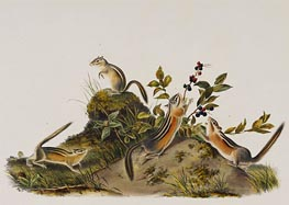 Four Striped Ground Squirrell (Tamias Quadivittatus), 1848 by Audubon | Painting Reproduction