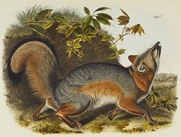 Grey Fox, 1845 by Audubon | Painting Reproduction
