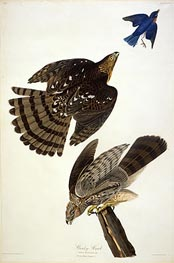 Stanley Hawk, undated by Audubon | Painting Reproduction