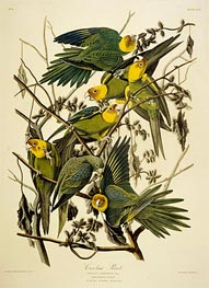 Carolina Parrot. Psittacus. From Birds of America, 1827 by Audubon | Painting Reproduction