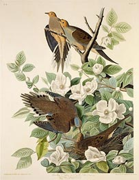 Carolina Pigeon or Turtle Dove, c.1825 by Audubon | Painting Reproduction
