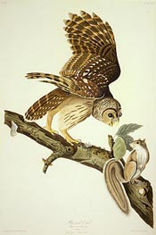 Barred Owl, 1828 by Audubon | Painting Reproduction