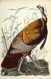 Great American Cock, Male, VULGO (Wild Turkey) Meleagris Gallopavo, 1825 von Audubon | Gemälde-Reproduktion