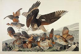 Virginian Partridge, Perdix Virginiana, 1830 by Audubon | Painting Reproduction