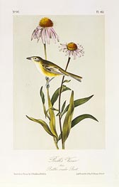 Bell's Vireo | Audubon | Painting Reproduction