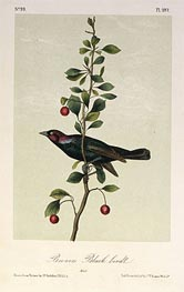 Brewers Black Bird, a.1843 von Audubon | Gemälde-Reproduktion