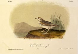 Baird's Bunting, a.1843 by Audubon | Painting Reproduction