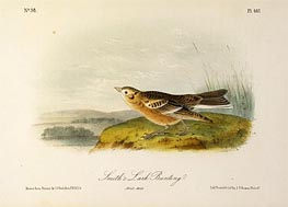 Smith's Lark Bunting | Audubon | Painting Reproduction