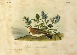 Western Shore Lark, a.1843 by Audubon | Painting Reproduction