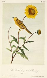 Le Conte's Sharp-Tailed Bunting, a.1843 by Audubon | Painting Reproduction