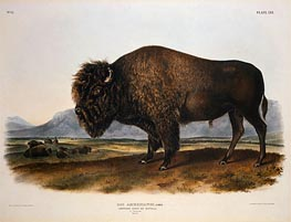Bos Americanus, American Bison or Buffalo, 1845 by Audubon | Painting Reproduction