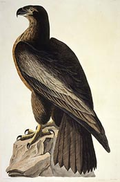 The Bird of Washington or Great American Sea Eagle, 1822 by Audubon | Painting Reproduction