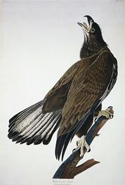 White-Headed Eagle | Audubon | Painting Reproduction