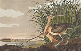 Long-Billed Curlew | Audubon | Painting Reproduction