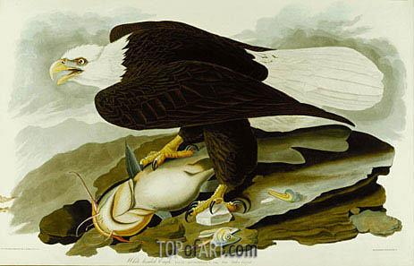 The Bald Headed Eagle from Birds Of America, c.1827/30 | Audubon | Gemälde Reproduktion