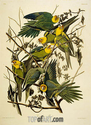 Carolina Parrot. Psittacus. From Birds of America, 1827 | Audubon | Painting Reproduction