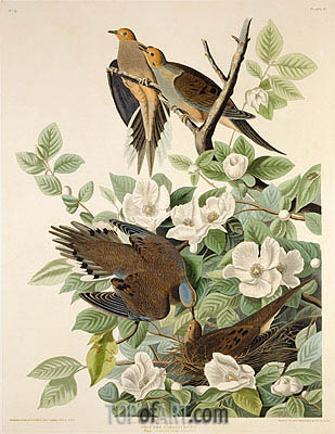 Carolina Pigeon or Turtle Dove, c.1825 | Audubon | Painting Reproduction