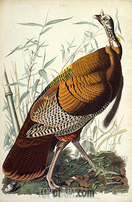Great American Cock, Male, VULGO (Wild Turkey) Meleagris Gallopavo, 1825 | Audubon | Gemälde Reproduktion