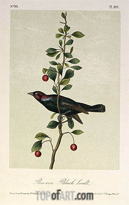 Brewers Black Bird, a.1843 | Audubon | Painting Reproduction