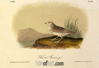 Baird's Bunting, a.1843 | Audubon | Painting Reproduction