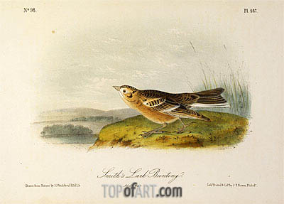 Smith's Lark Bunting, a.1843 | Audubon | Painting Reproduction