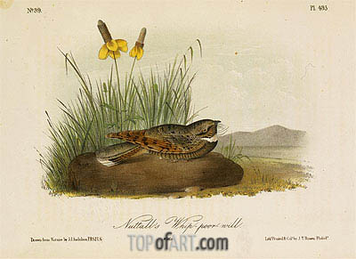 Nuttall's Whip-Poor-Will, a.1843 | Audubon | Painting Reproduction