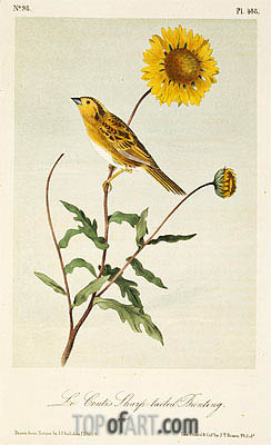 Le Conte's Sharp-Tailed Bunting, a.1843 | Audubon | Painting Reproduction