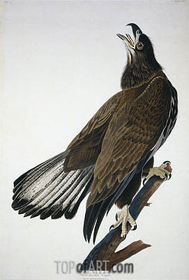 White-Headed Eagle, undated | Audubon | Painting Reproduction