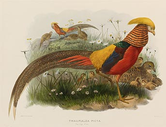 Thaumalea Picta (Golden Pheasant), c.1870/72 by Joseph Wolf | Painting Reproduction