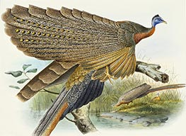 Phadianidae. Argusianus Grayli, c.1870/72 by Joseph Wolf | Painting Reproduction